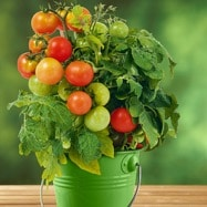 Gemüsepflanzen im Topf