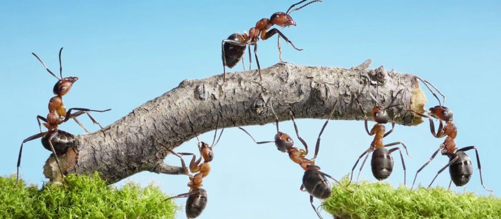 Ameisen bauen eine Brücke
