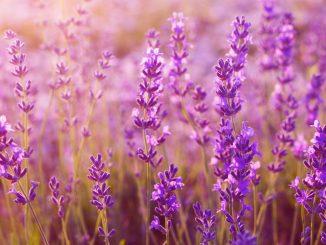 Lavendelpflanzen im Sonnenuntergang