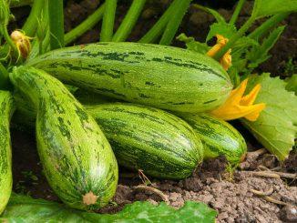 Reife Zucchinis an der Pflanze