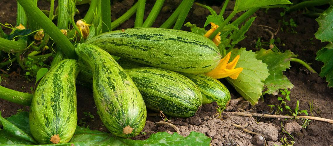 zucchini pflanzen garten ratgeber. Black Bedroom Furniture Sets. Home Design Ideas