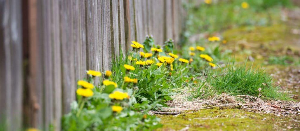 Löwenzahn wächst am Zaun