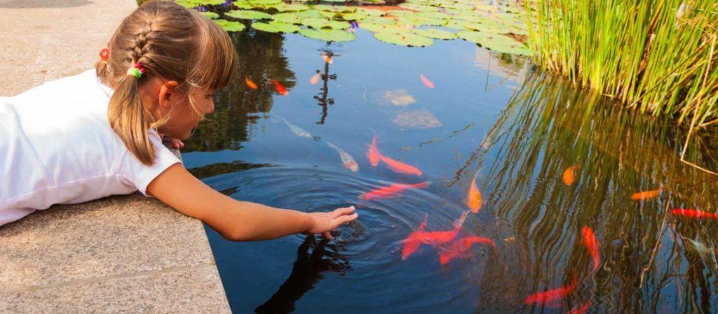 Goldfische und Kois im Gartenteich