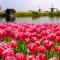 Tulpenfeld von Windmühlen