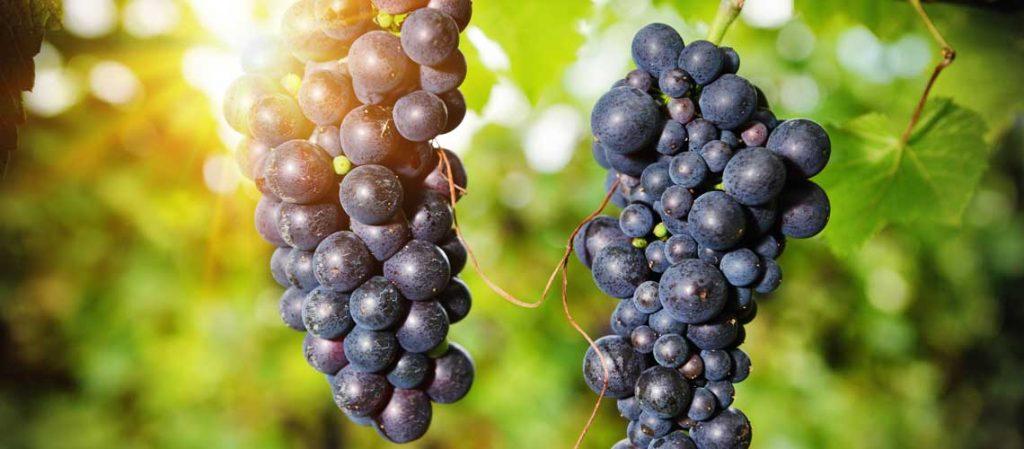 Weintrauben an der Pflanze