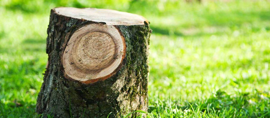 Frisch abgesägter Baumstumpf