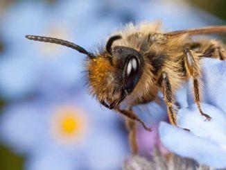 Biene auf einer Blüte in Nahaufnahme