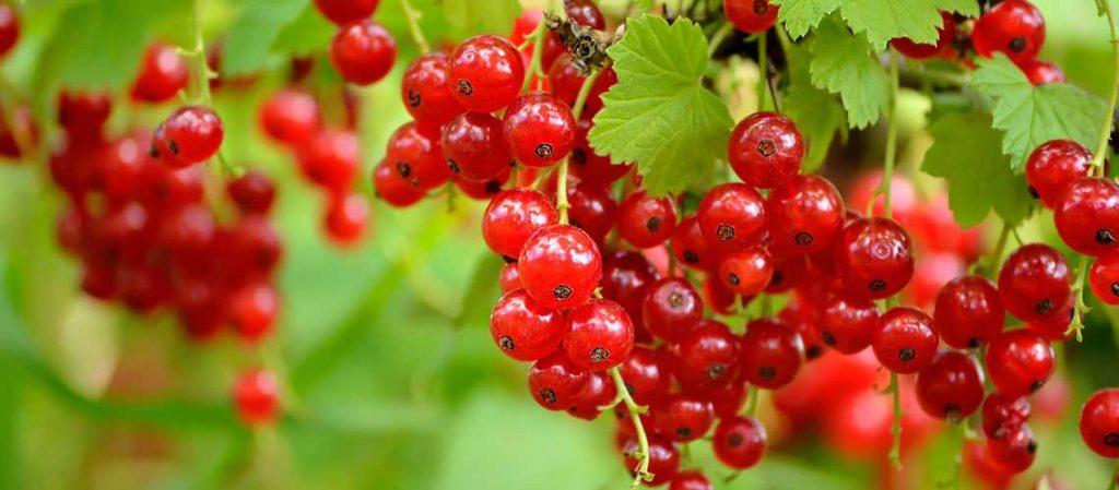 Rote Johannisbeeren an der Pflanze