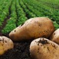 Kartoffel Feld ernte