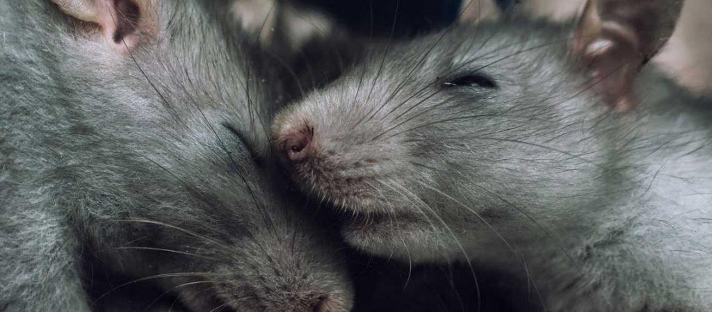 Ratten schlafen im Nest