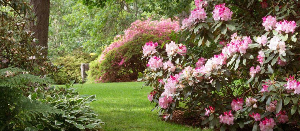 Rhododendren im Garten
