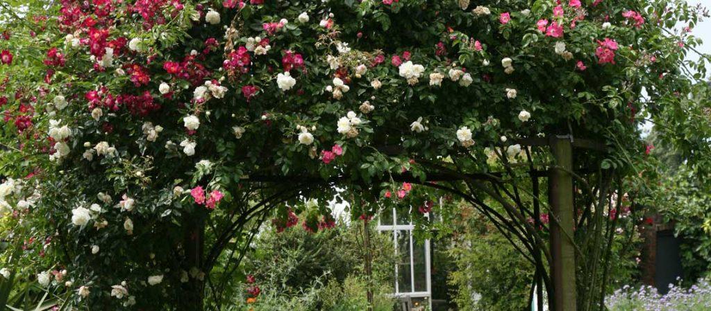 Ein dicht bewachsener Rosenbogen