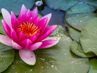 Seerosen Blüte auf dem Wasser