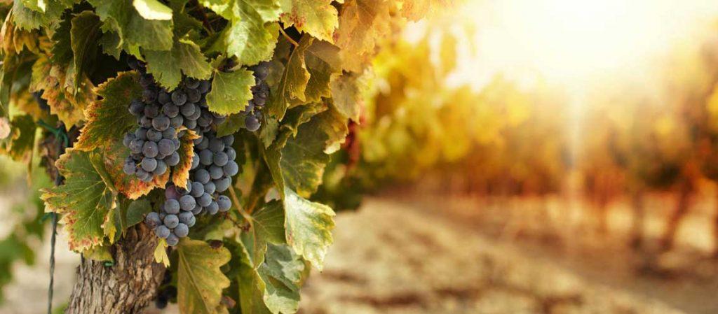 Weinstock mit Trauben
