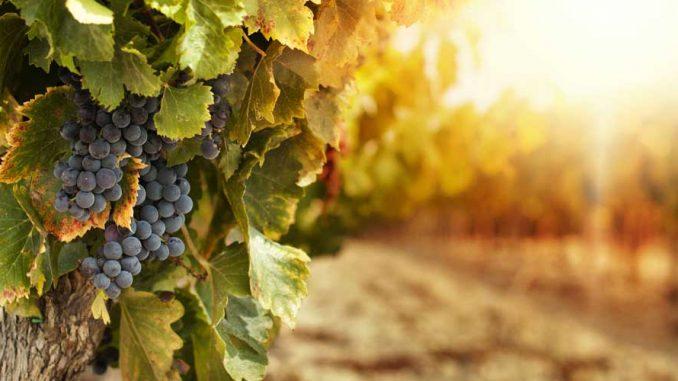 Weinstock pflanzen > Garten Ratgeber