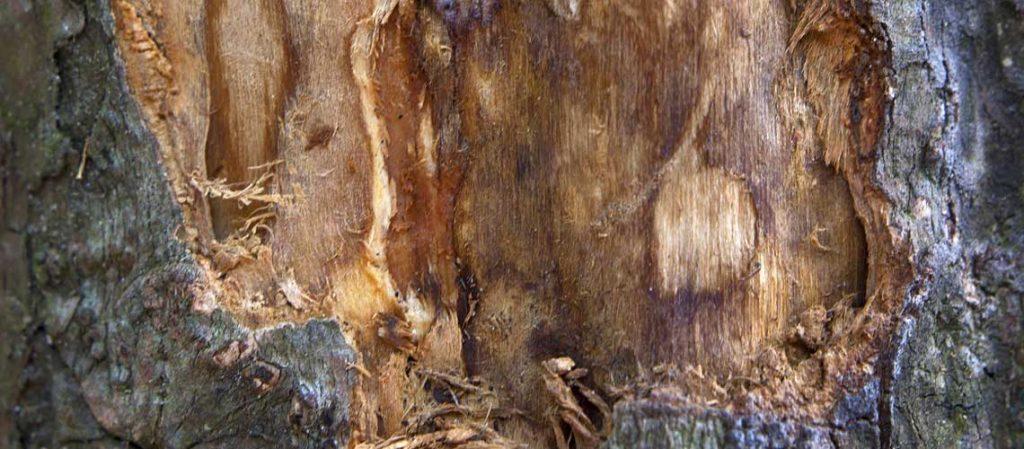Nahaufnahme der geernteten Rinde des Zimtbaumes