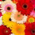 Gerbera Blüten in verschiedenen Farben