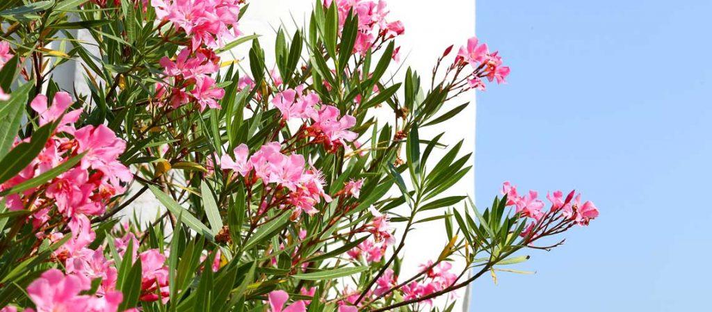Blühender Oleander