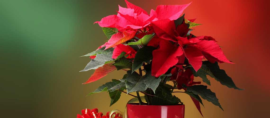 weihnachtsstern nicht nur zur weihnachtszeit ein hingucker garten ratgeber. Black Bedroom Furniture Sets. Home Design Ideas
