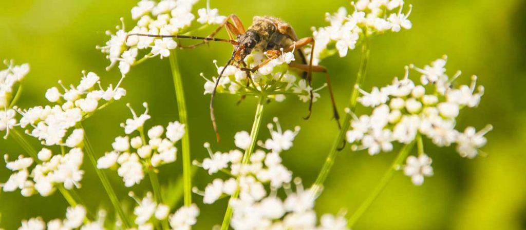 Girsch Blüten mit Insekten