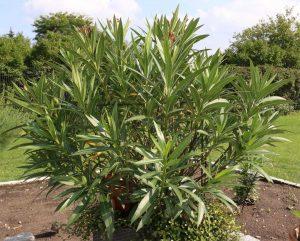 Oleander im Kübel