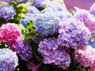 Hortensien in verschiedenen Farben