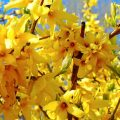 Forsythie während der Blüte