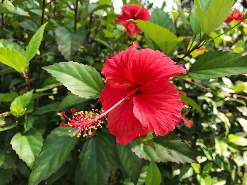 Hibiskus Blüten an der Pflanze