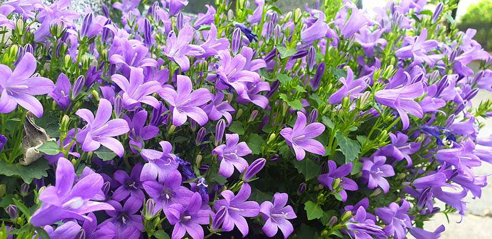 Lila Glockenblumen im Beet