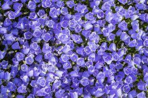 Ein Teppich aus Lila Glockenblumen