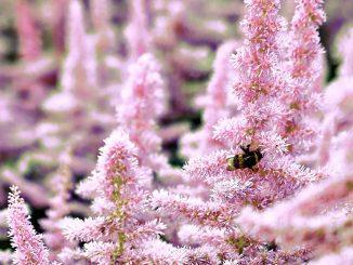 Rosa Astilbe Blüten