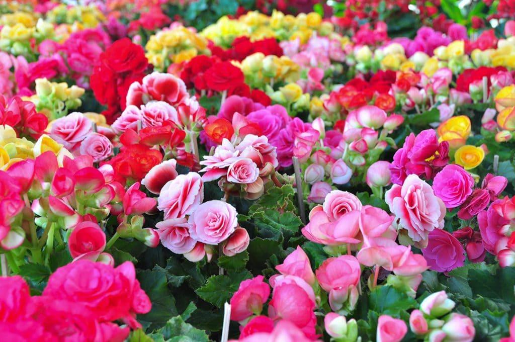 Blühende Begonien in verschiedenen Farben