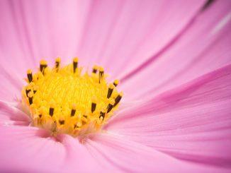 Cosmea Blüte