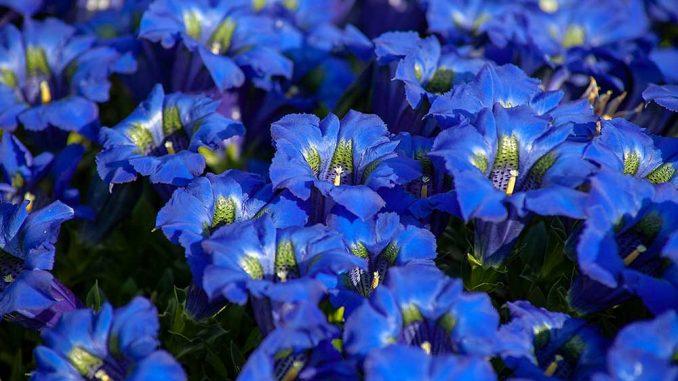 Enzian Pflanze mit Blüte