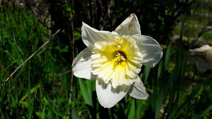 Blüte einer Osterglocke / Narzisse