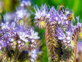 Phacelia Pflanzen mit Bienen an den Blüten