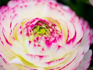 Nahaufnahme weiß/Rosa Ranunkel Blüte