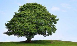 Großer Ahornbaum auf einem Hügel