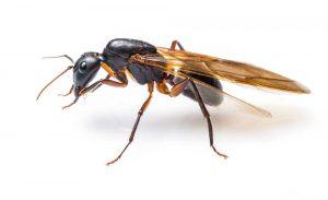 Nahaufnahme einer fliegenden Ameise