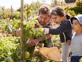 Vater mit Kindern baut Gemüse im Kleingarten an.