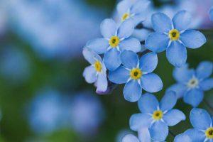Vergissmeinnicht Blüten in Nahaufnahme