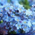 Vergissmeinnicht Blüten