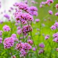 Verbena Bonariensis - Lila blühende Verbene