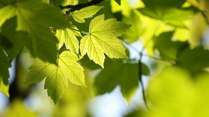 Ahorn Blätter in der Sonne