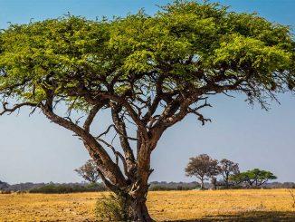 Ein Akazien Baum in der Savanne