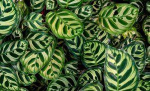 Calathea Blätter