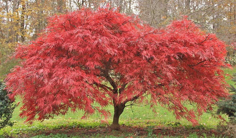 Ein Japanischer Ahorn in der Herbstfärbung mit leuchtendem Rot