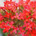 Kalanchoe Blüten Nahaufnahme