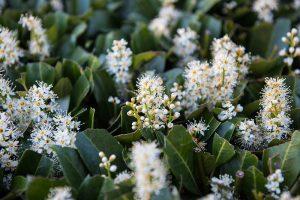Die Blüten der Lorbeerkirsche