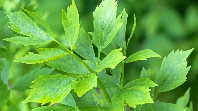 Liebstöckel Pflanze